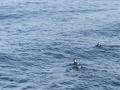 2017年1月28日(土)黒島沖 カンムリウミスズメ